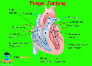 fungsi-jantung