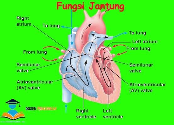 Fungsi Jantung Pengertian Anatomi Cara Kerja Bagian Gambar