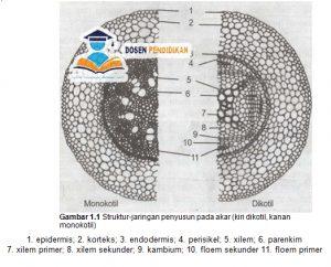 Struktur Jaringan Akar