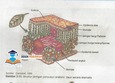 Struktur dan Fungsi Jaringan Daun