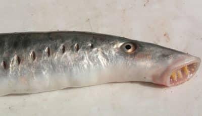 Ikan Tak Berahang