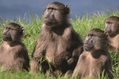 Mamalia (Primata)