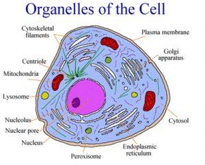 Organel-Sel