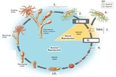 berkembang biak porifera