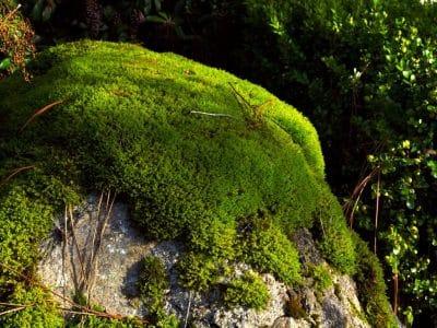 Tumbuhan Lumut - Ciri, Metagenesis, Struktur dan Klasifikasi