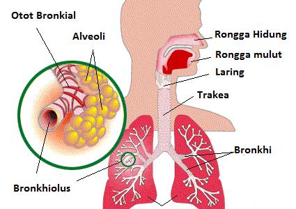 Sistem-Respirasi-Manusia
