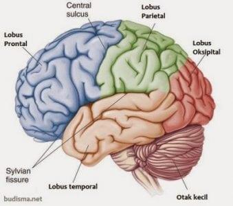 Fungsi Dan Bagian Pada Sistem Saraf Pusat Manusia