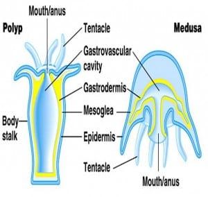 struktur coelenterata