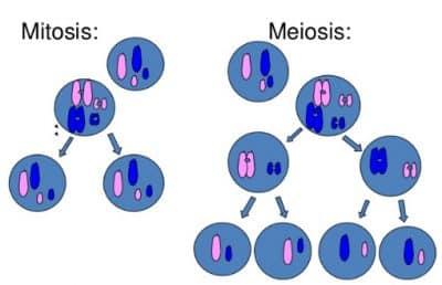 Mitosis Adalah Pengertian Proses Tahap Perbedaan Gambar