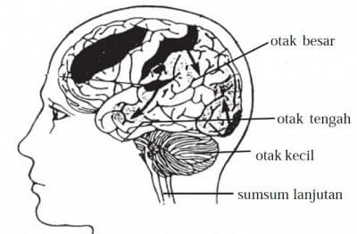 Penjelasan-Otak-Besar-Dan-Otak-Kecil-Beserta-Perbedaannya