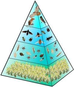 Piramida-Ekologi