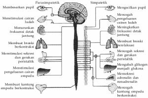 Sistem-Saraf-Otonom