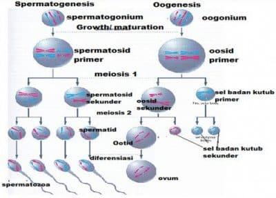 Spermatogenesis Adalah Pengertian Oogenesis Proses Perbedaan