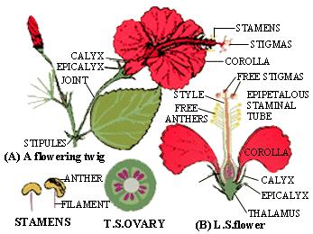 Penjelasan Bagian-Bagian Bunga Kembang Sepatu Beserta Fungsinya