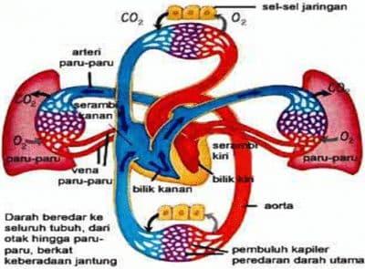 Urutan Peredaran Darah