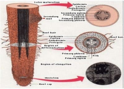 Struktur Anatomi Pada Akar Tumbuhan