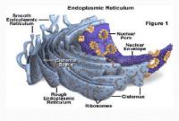 endoplasma