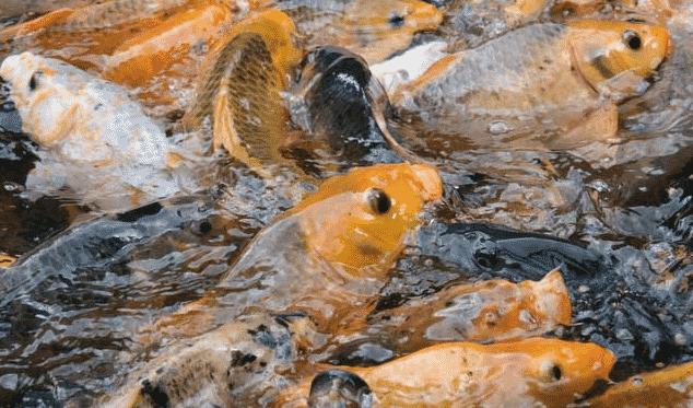 Penjelasan Ikan Air Tawar Beserta Jenisnya