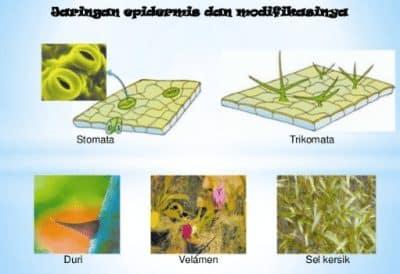 Modifikasi Jaringan Epidermis