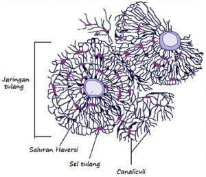 jaringan-tulang