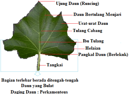 Struktur Morfologi Daun