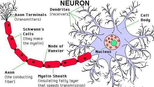 bagian neuron beserta fungsinya