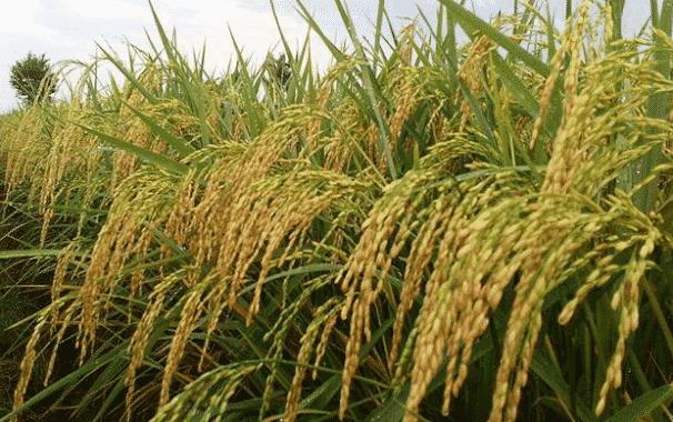 ciri-ciri-tanaman-padi