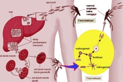 Struktur Tubuh Sporozoa Munurut Dalam Ilmu Biologi