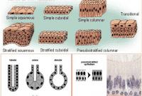 Jaringan Epitel - Ciri, Fungsi, Struktur, Jenis dan Sifat