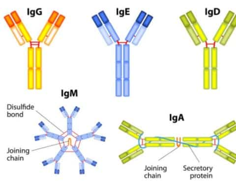 """Antibodi"" Pengertian & ( Cara Kerja - Sifat - Fungsi - Struktur - Jenis )"