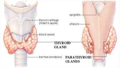"""Kelenjar Paratiroid"" Pengertian & ( Fungsi - Struktur - Bagian )"