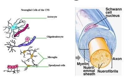 """""""Neuroglia"""" Pengertian & ( Fungsi - Struktur - Jenis )"""