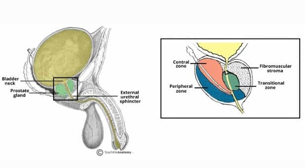 """Kelenjar Prostat"" Pengertian & ( Fungsi - Struktur - Bagian )"