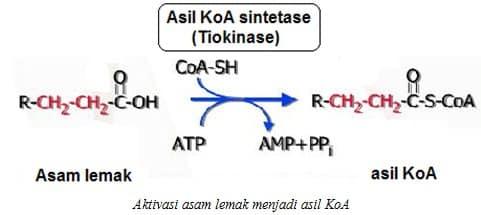 Aktivasi asam lemak menjadi asil KoA