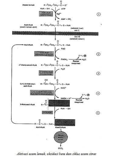 Aktivasi asam lemak, oksidasi beta dan siklus asam sitrat