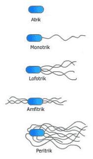 Alat Gerak Bakteri