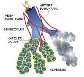 Alveolus-yang-diperbesar