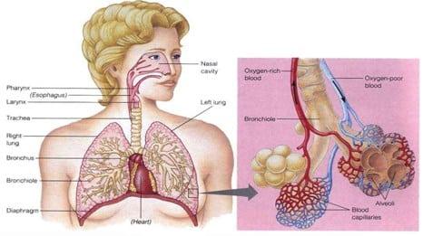 Fungsi Paru Paru Pengertian Struktur Anatomi Letak Gambar