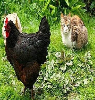 Ayam dan kucing