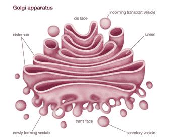 Badan-Golgi