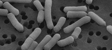 Bakteri Mikroaerofil