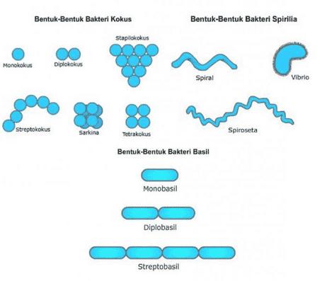 Bentuk Bakteri