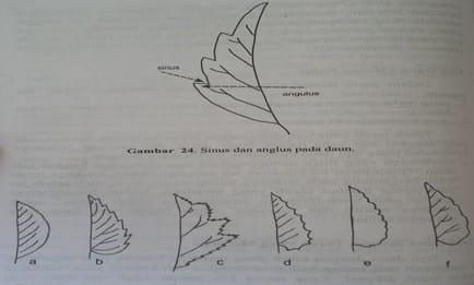 Bentuk-bentuk tepi daun