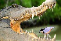 Buaya dengan Burung Plofer