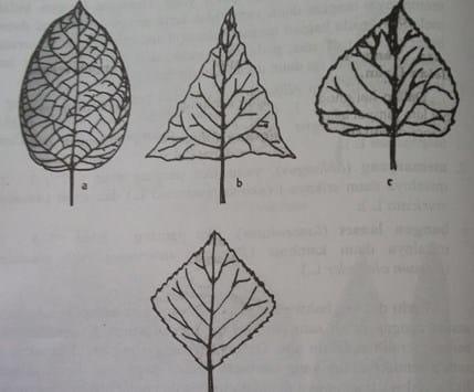 Daun-daun yang mempunyai bagian yang terlebar