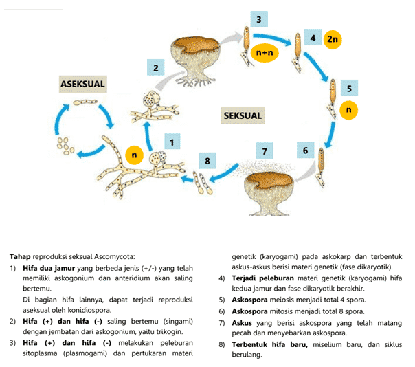 Daur Hidup Ascomycota