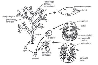 Daur hidup Fucus sp salah satu contoh Alga Coklat