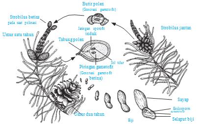 Daur hidup pinus (Gymnospermae)