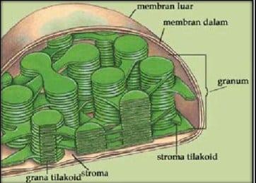 Definisi Kloroplas