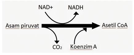 Dekarboksilasi Oksidatif Piruvat